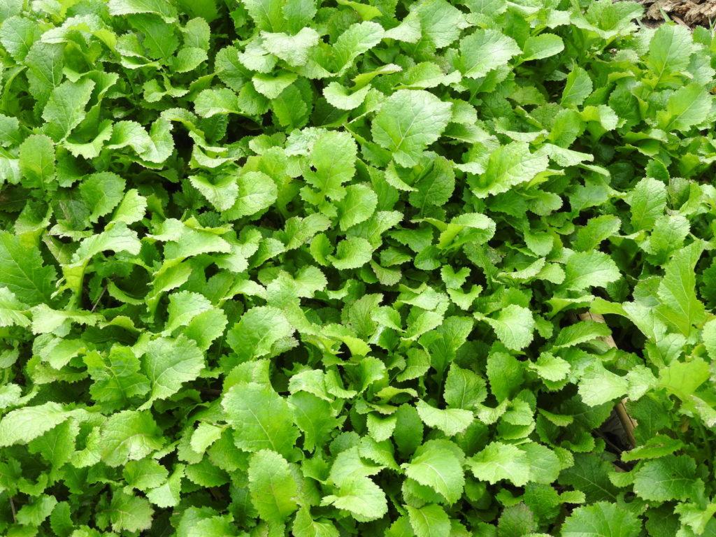 接ぎ木苗で使われている代表的な野菜の品目
