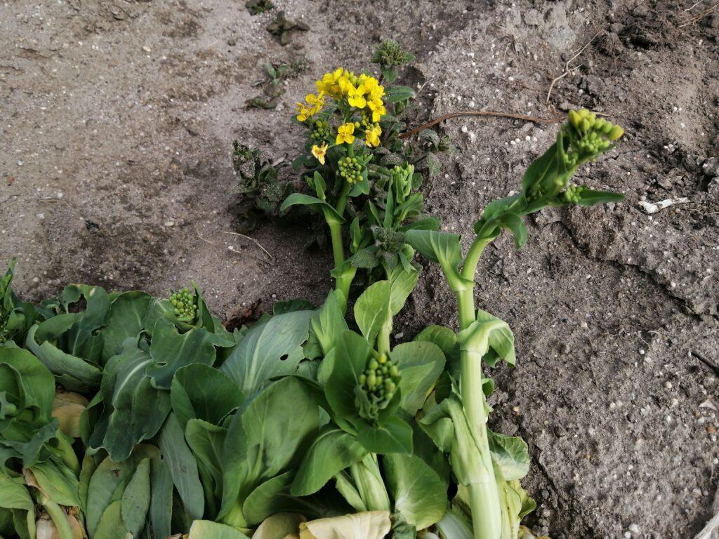 チンゲンサイの花(蕾)を収穫してみた